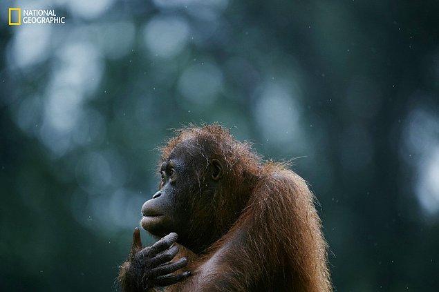 9. Borneo Adası'nda öksüz kalmış bir orangutan.