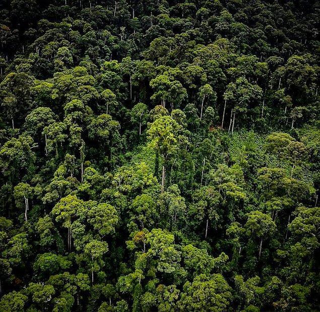 Gregory Asner, bu raporu açıkladıktan sonra dünyanın en uzun tropikal ağacı resmileşmiş olacak.