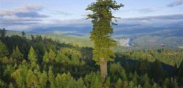 Daha önce dünyanın en uzun ağacı ile tanışmıştık.