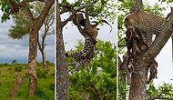 Hayvanlar da Yamyam Olabilir! Kendi Türünden Bir Canlıyı Yerken Fotoğraflanan Leopar