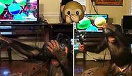 Sanal Gerçeklik Gözlüğü Takınca Maymuna Dönen Maymun
