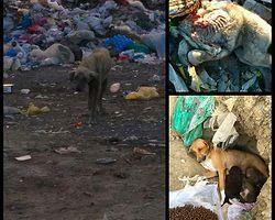 Çorum-Bayat ilçesi çöplüğünde hayatta kalmaya çalışan canlar