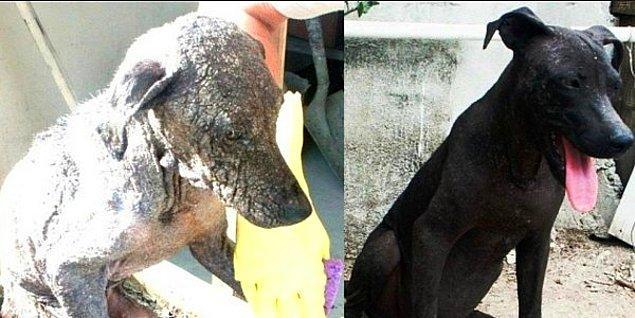 26. Hâlâ Umut Var! İnsanlığa Olan İnancınızı Tazeleyecek, Kurtarılan 36 Köpeğin Değişimi
