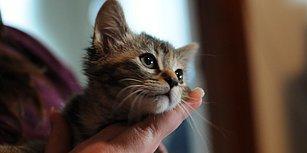 Kalbinizi Sevgiden Patlatmaya Yemin Etmiş 11 Tontiş Kedi