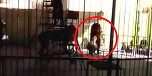 Mısır'da Sirk Aslanı Terbiyecisinin Boynundan Kaparak Ölümüne Neden Oldu