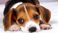 Dünyaya Köpek Olarak Gelsen Hangi Köpek Olurdun?