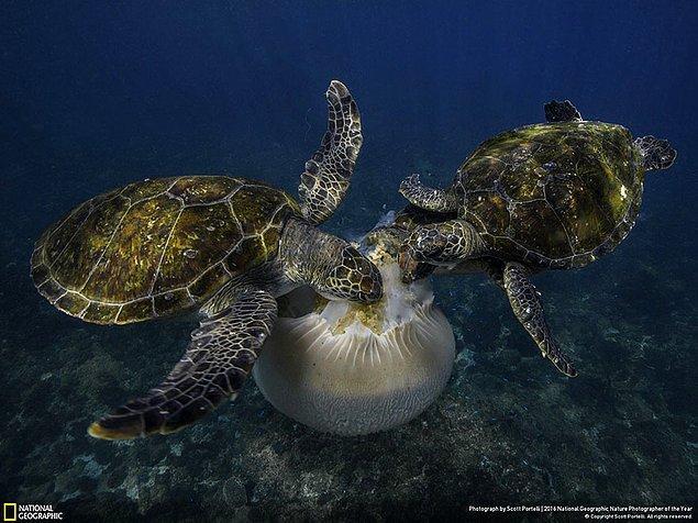 10. Aksiyon dalında şeref ödülü: Denizanası ziyafeti, New South Wales, Avustralya