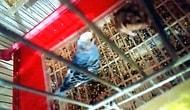 Bir Hamster Bir Muhabbet Kuşuyla Aynı Kafeste Kalırsa Ne Olur?