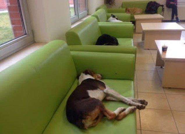 16. Eskişehir Anadolu Üniversitesi öğrencilerinin, soğukta üşüdüklerini görünce koltuklarda uyumalarına müsade ettikleri köpekler.