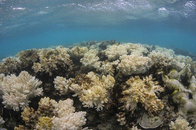 3. Avustralya'daki Büyük Bariyer Resifinin %93'ü beyazlayarak ölmüş durumda. Bu resif tarihinin en ciddi tahribatı.