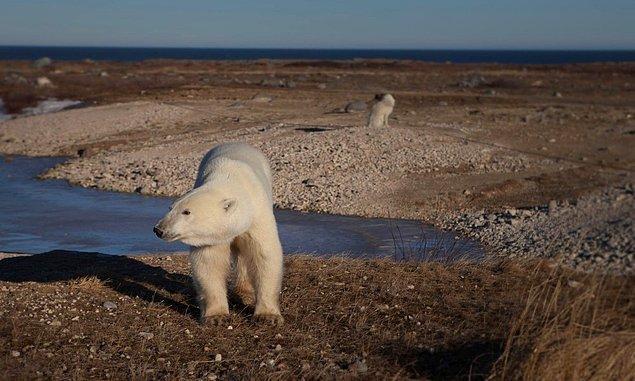 7. Arktik bölgelerdeki deniz buzulları kutup ayılarının hayatta kalabilmesi için kritik önem taşıyor. Kanada'nın Hudson Körfezi'nde son 30 yılda kutup ayısı popülasyonu %20 gerileme göstermiş durumda çünkü bölgede kış mevsiminde yeteri kadar buzul oluşmadı.