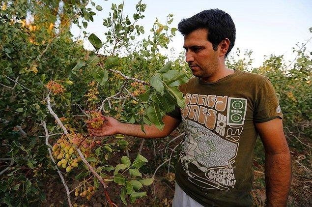 13. İran'ın en büyük ikinci ihracat kaynağı olan antep fıstığı ağaçları tuzlu su yüzünden sarardı. 17. yüzyıldan beri fıstık yetiştirilen Kerman bölgesinde bile artık hiç fıstık çiftçisi yok.