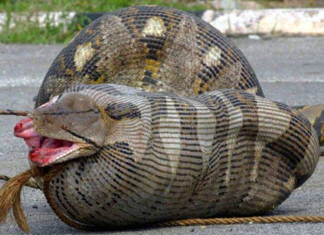 7. Anakondalar uzun süre beslenmeden yaşayabilir.