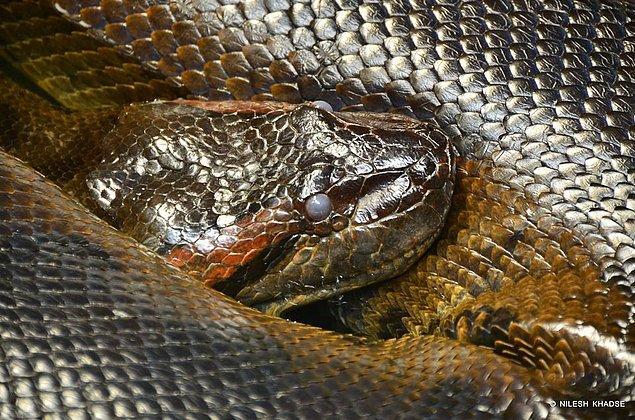 13. Yeşil anakonda Dünya'daki en ağır yılan, fakat en uzunu değil.