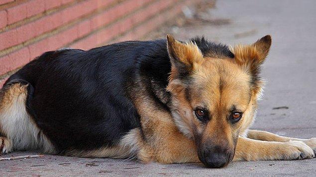 Peki köpeklerin uluyup havlamasının ardındaki bilimsel sebepler neler?