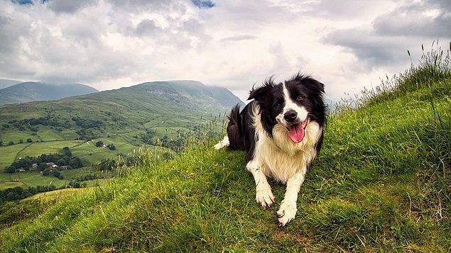 Köpeklerin duyu hassasiyetleri insanınkinden daha uç sınırlara erişebiliyor. Yani köpekler bizim duyamadığımız tiz sesleri de duyabiliyorlar.