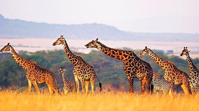5. Tek bir türü olduğu zannedilen zürafaların, dört farklı türe sahip olduğu tespit edildi.