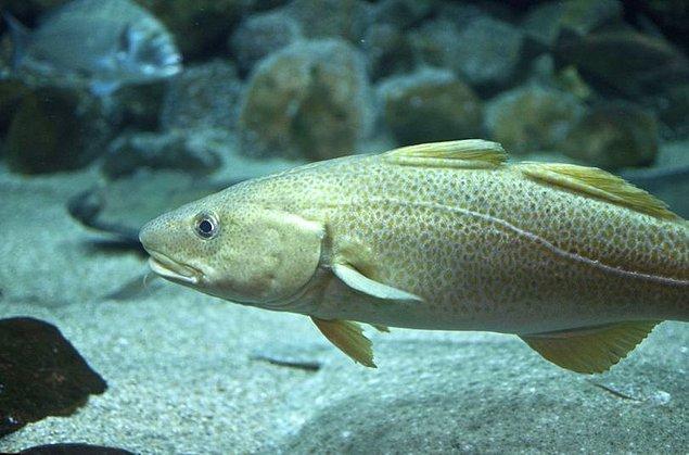 23. Morina balıklarının bölgelere göre değişen aksanları olduğu gözlemlendi.