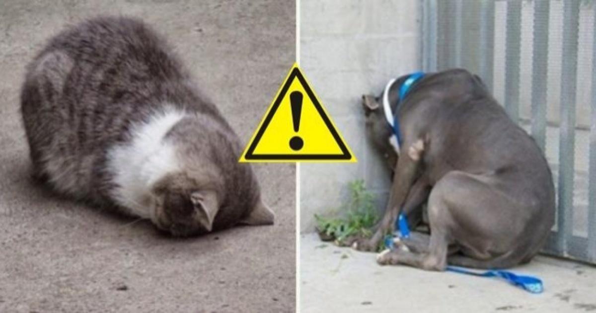 Kedinizi acilen veterinere götürmeniz gerektiğini gösteren 5 işaret