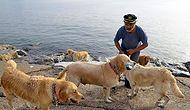 Sokağa Terk Edilen Köpeklerden Oluşan Golden Çetesi Yetim Kaldı: Şenol Kaptanı Kaybettik 😢