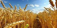 Bir Zamanlar 'Tahıl Ambarı' Olan Türkiye Buğday İthal Edecek, Peki Neden?