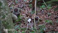 Doğada Çiftleşmek Üzereyken Görüntülenen Maymun ile Geyik