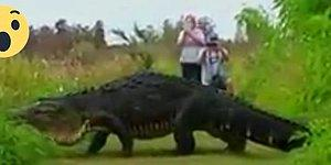 Godzilla mı O? Florida'da Görüntülenen Devasa Timsah!