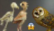 Baykuşların Tüysüz Nasıl Göründüğünü Merak Etmiş miydiniz?
