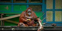 Testere ile Odun Kesmesini Öğrenen Orangutan