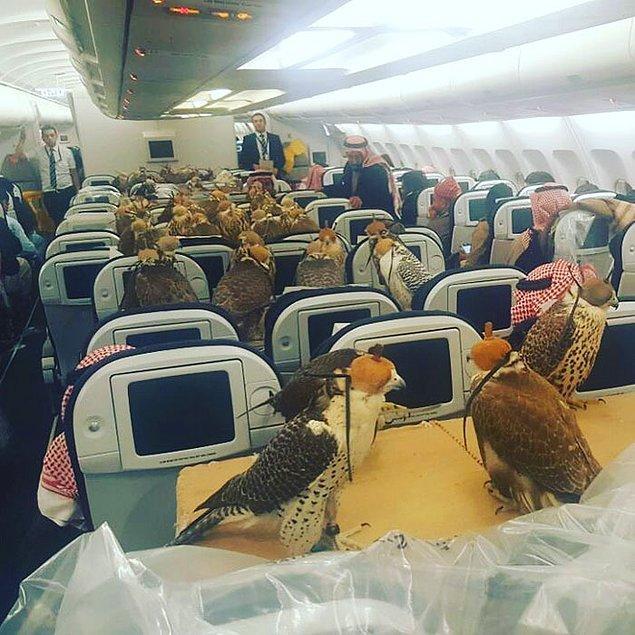 Suudi Arabistan'da bir prens Cidde'ye giden A330 marka uçakta 80 şahini için bilet satın aldı ve yırtıcı kuşlar ekonomi sınıfında seyahat etti.