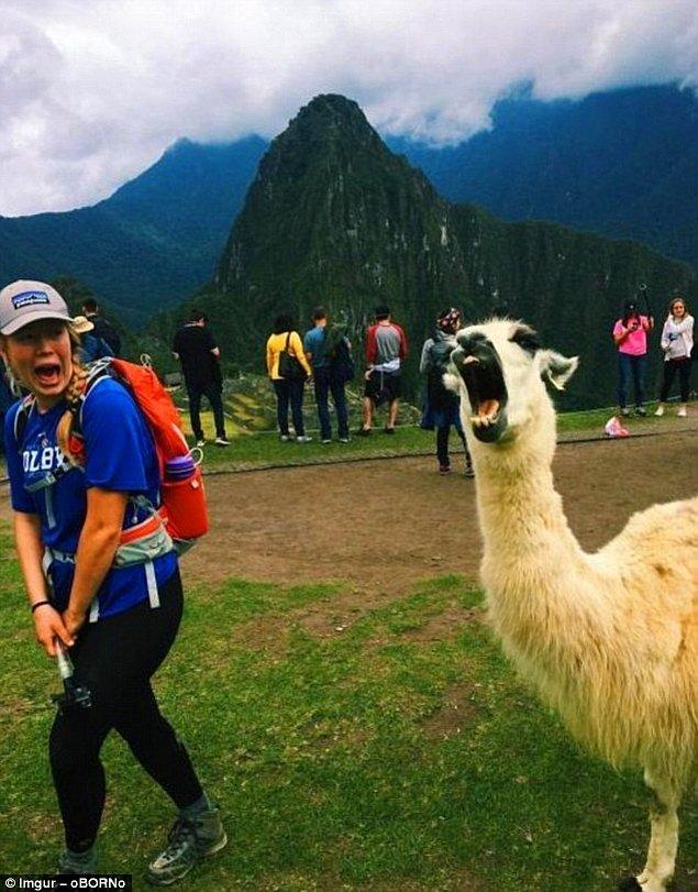 8. Machu Picchu'da yürüyüşte olan kadın bu alpakanın gelişini kestirememiş.