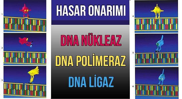 7. Enzimler DNA'mızı da onarıyorlar.