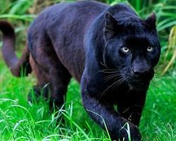 Siyah, Beyaza Karşı! Diğerlerinin Aksine Farklı Renklerle Dünyaya Gelmiş 21 Hayvan Türü
