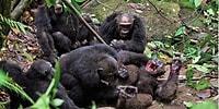 Öfkeli Şempanzeler, Grubun Eski Alfa Erkeğini Döverek Öldürüp Yemeye Kalktı!