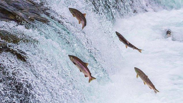 Çalışma, somon balıkları üzerinde yürütüldü.