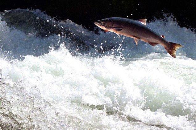 Somonlar nehirlerde doğuyor ve yaşamlarının ilk kısmını tatlı sularda geçiriyorlar.