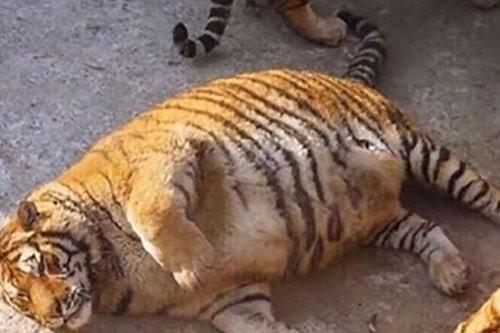 Bengal kaplanı - esaret altında bir hayat hikayesi