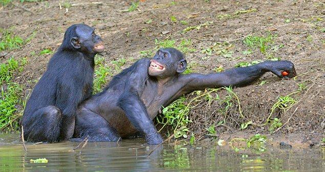 Bonobo çıktı!