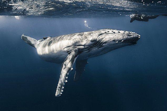 3. Fransız Polinezyası'nda fotoğraflanan balina.