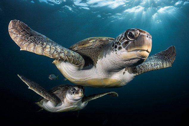7. Tenerife'nin gri kaplumbağaları.