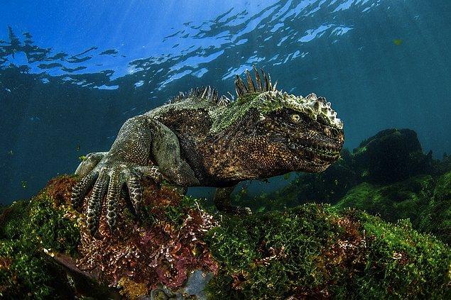 12. Karanlıktaki şeytan. Deniz iguanası.