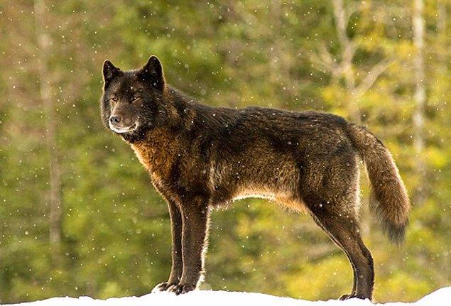 Nick Jans ve köpeği evlerinin arka varendasında otururlarken ormandan vahşi bir kurt çıkageldi.