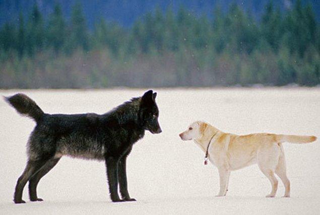 Dakotah isimli köpek herhangi bir uyarıda bulunmadan direkt vahşi kurdun yanına doğru koşmaya başladı.