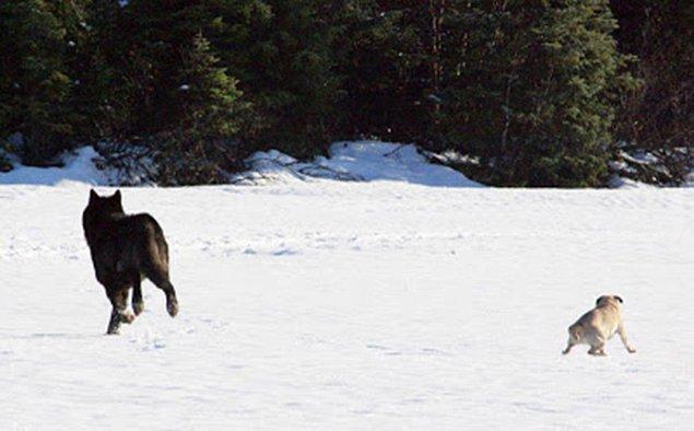 Jans, köpeğinin kurt tarafından vahşice öldürüleceğini düşünürken şaşırtıcı bir şey oldu.