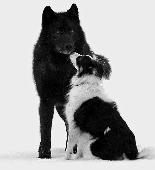 Romeo, toplumun gözde üyelerinden biri olmuştu. Mendenhall Glacier Park'ındaki diğer köpeklerle de etkileşimde bulunuyordu.