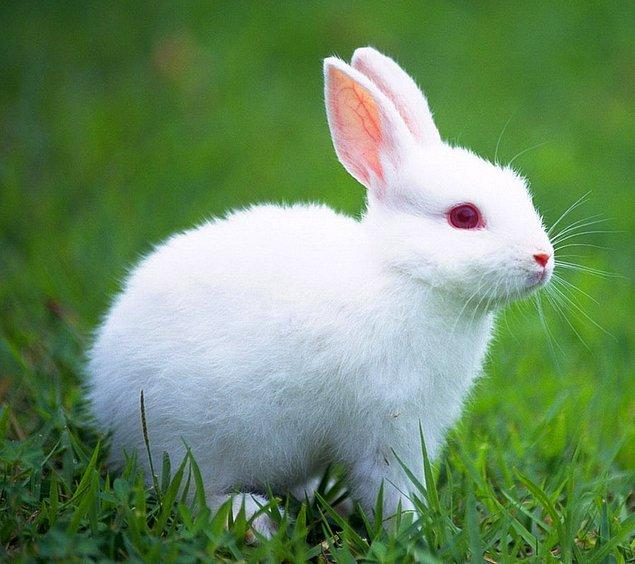 10. Tavşan