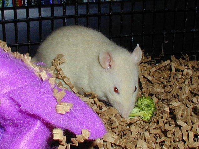 12. Sıçan Ralph