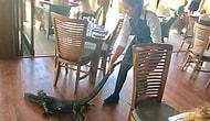 Avustralya'da Bir Restorana Giren Dev Kertenkeleyi Korkusuzca Çekip Götüren Garson Kız