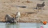 Vahşi Doğa Bildiğiniz Gibi: Yavruyu Öldürmeye Çalışan Zebra