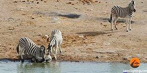 Vahşi Doğa Bildiğiniz Gibi: Yavruyu Yemeye Çalışan Zebra